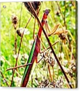 Mr Mantis Acrylic Print