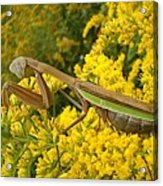 Mr. Mantis Acrylic Print