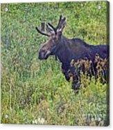 Mr Moose Acrylic Print