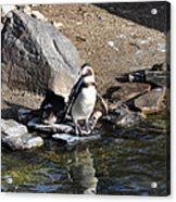 Mr Popper's Penguins Acrylic Print by Bill Cannon