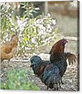 Mr. Rooster Struts Acrylic Print by Artist and Photographer Laura Wrede