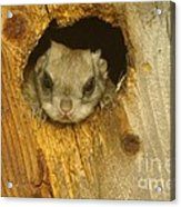 Mr Squirrel Answers The Door  Acrylic Print
