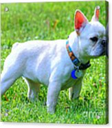 Ms. Quiggly - French Bulldog Acrylic Print