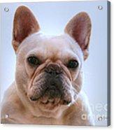 French Bulldog Seriously Acrylic Print