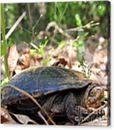 Mud Turtle Acrylic Print