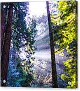 Muir Woods - Fog And Light Acrylic Print