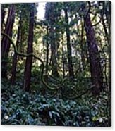 Muir Woods Acrylic Print