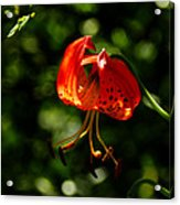 Muir Woods Leopard Lily 001 Acrylic Print