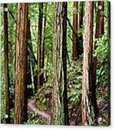 Muir Woods Acrylic Print by Niels Nielsen
