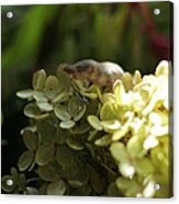 Muis In Hortensia Acrylic Print