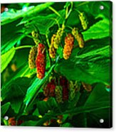 Mulberries - Fruit - Berries Acrylic Print