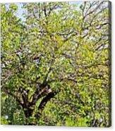 Mulberry Tree Acrylic Print