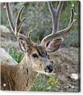 Mule Deer Buck In Velvet Acrylic Print