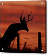 Mule Deer Buck Jumping Fence At Sunset Acrylic Print