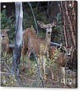 Mule Deer Doe With Fawns Acrylic Print
