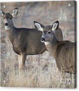 Mule Deer Does Acrylic Print