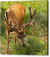 Mule Deer In Beaver Meadows In Rocky Mountain National Park Acrylic Print