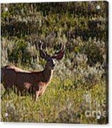 Mule Deer In Velvet   #2114 Acrylic Print