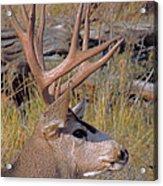 Mule Deer Acrylic Print