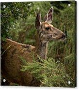 Mule Deer On Alert Acrylic Print