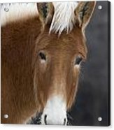 Mule Acrylic Print