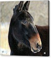 Mule Portrait 2 Acrylic Print