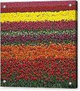 Mult-colored Tulip Field Acrylic Print