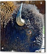 Multi-color-eyed Bison Near Wildlife Loop Road In Custer State Park-south Dakota Acrylic Print