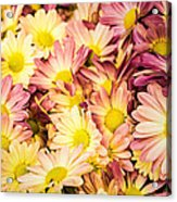 Multi-colored Daisies Acrylic Print