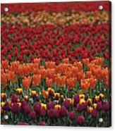 Multi-colored Tulip Fields  Acrylic Print