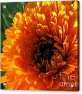 Multi Petals African Daisy Acrylic Print