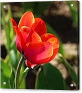 Multicolored Tulip Acrylic Print