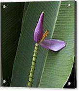 Musa Ornata - Pink Ornamental Banana Flower - Kepaniwai Maui Hawaii  Acrylic Print