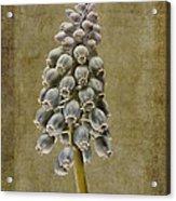 Muscari Armeniacum With Textures Acrylic Print by John Edwards