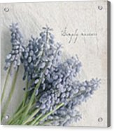Muscari Acrylic Print by Beverly Cazzell