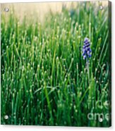 Muscari Or Grape Hyacinth Acrylic Print