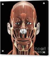 Muscles Of The Face Acrylic Print