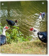 Muscovy Ducks Acrylic Print