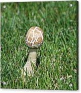 Mushroom 01 Acrylic Print