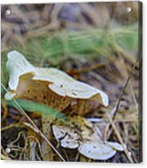 Mushroom 1 Acrylic Print