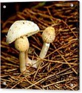 Mushroom 3 Acrylic Print