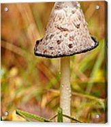 Shaggy Mane Mushroom Acrylic Print