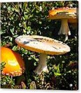 Mushroom Tops Acrylic Print