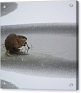 Muskrat Meal On Ice Acrylic Print