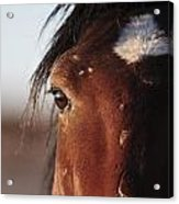 Mustang Battle Wounds Acrylic Print
