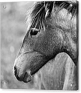 Mustang Close 1 Bw Acrylic Print by Roger Snyder