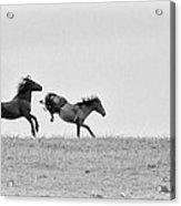 Mustangs Sparring 1 Acrylic Print