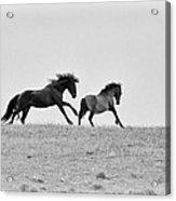 Mustangs Sparring 3 Acrylic Print