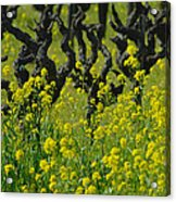 Mustard And Old Vines Acrylic Print