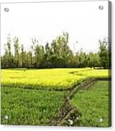 Mustard Fields In Kashmir On The Way To The Town Of Sonamarg Acrylic Print